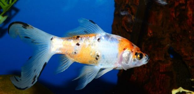 Comet goldfish size perfect for ponds for Goldfish pond care