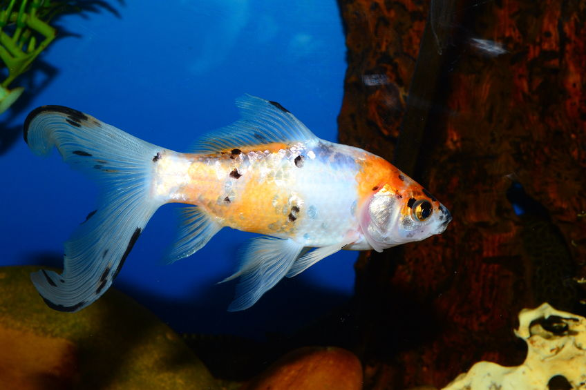 Comet goldfish size perfect for ponds comet goldfish care for Goldfish pond care