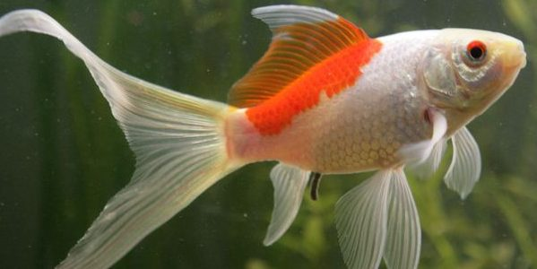 All You Need to Know About Sarasa Comet Goldfish