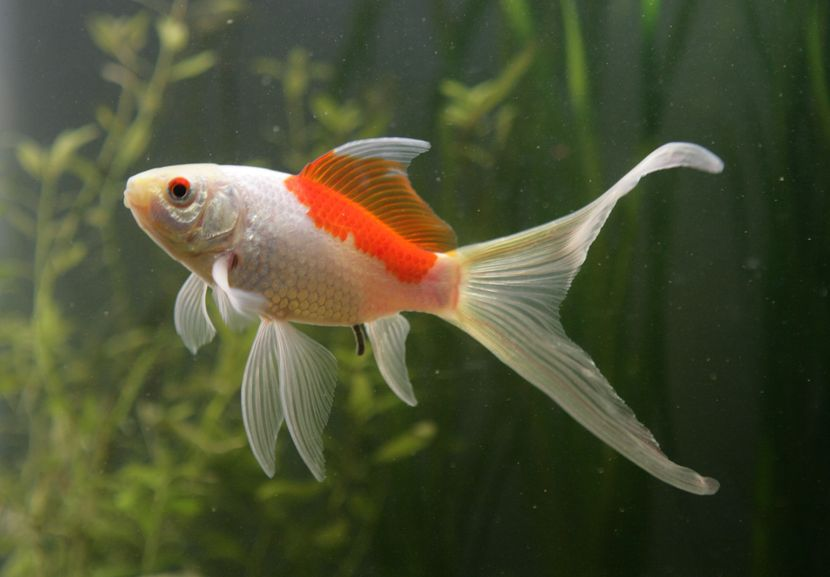 All you need to know about sarasa comet goldfish comet for Koi goldfish care